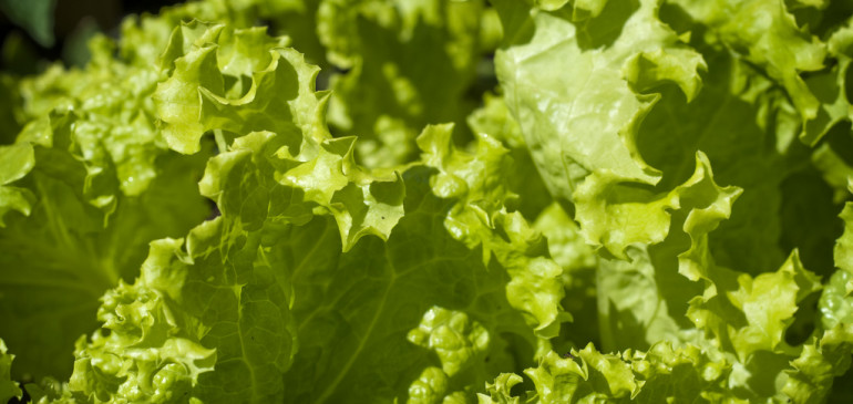 Color of lettuce determines the speed of its antioxidant effect